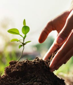 Hand adding soil to support a young plant